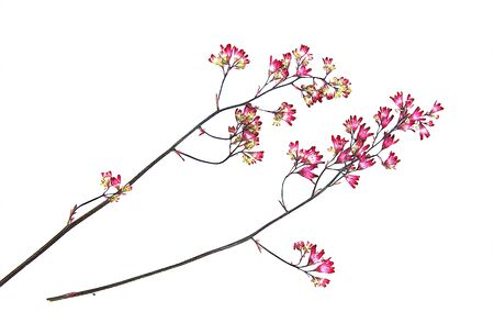 pressed: dry, pressed pink  small carnation flowers on a branch illustration draw object