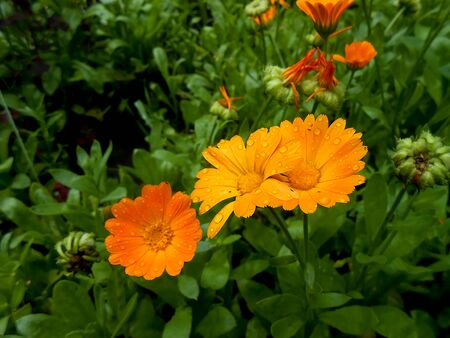calendula: oil paint orange calendula flowers with rain drops on the lawn. Summer landscape illustration