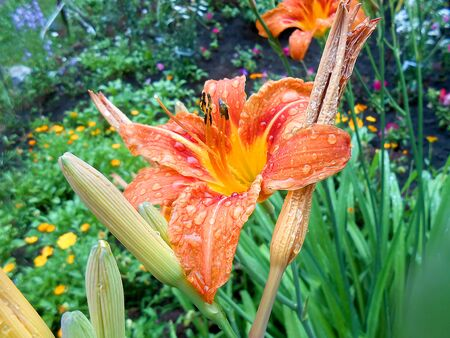 tiger lily: oil paint orange tiger lily flowers with rain drops on the lawn. Summer landscape illustration