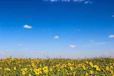 manipulation: field of sunflowers stretching to the horizon, photo manipulation, processing in the style of drawing oil, blur
