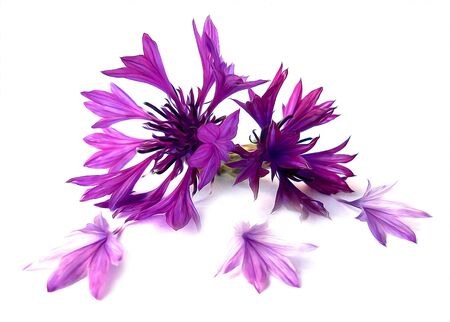 photo manipulation oil paint  purple cornflower perspective,  delicate flowers and petals isolated on white background Stock Photo