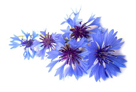 cornflower: photo manipulation oil paint  blue cornflower perspective,  delicate flowers and petals isolated on white background