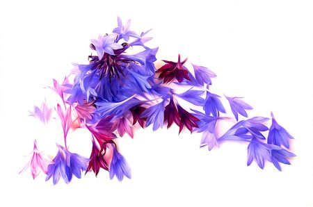 photo manipulation: photo manipulation oil paint  blue cornflower perspective,  delicate flowers and petals isolated on white background