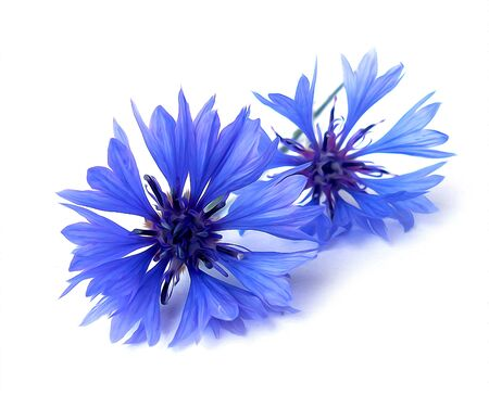 photo manipulation oil paint  blue cornflower perspective,  delicate flowers and petals isolated on white background