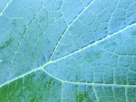veins: photo manipulation oil paint  background of a huge green leaf pumpkin with veins and drops of dew