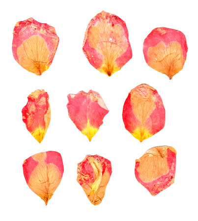 dry delicate  petals of pressed, red and yellow rose, isolated on white background Stock Photo