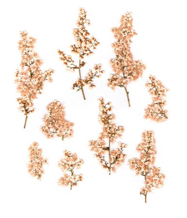 yarrow: Dry pressed soft pastel flower Siberian yarrow