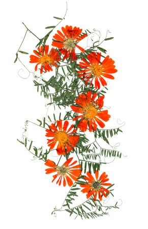 application, a bouquet of dried pressing bright orange calendula flowers and small delicate leaves of sweet peas