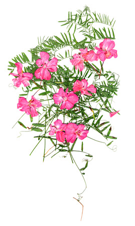 application, a bouquet of dried pressing bright pink geranium flowers and small delicate leaves of sweet peas