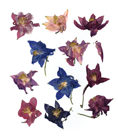 dry large multicolor perspective delicate royal Aquilegia  with pressed  petals isolated on scrapbook background blossom of Columbine flower Stock Photo