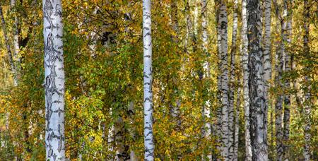 originally: Tall slender white birch trunks in a golden dress. Originally Russian autumn landscape.
