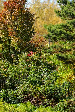 crumbling: Tall slender white birch trunks in a golden dress. Originally Russian autumn landscape watercolor illustration. photo manipulation concept