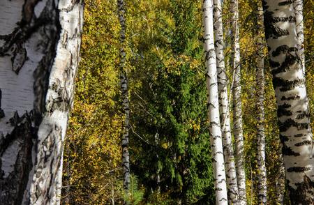 originally: Tall slender white birch trunks in a golden dress. Originally Russian autumn landscape watercolor illustration. photo manipulation concept
