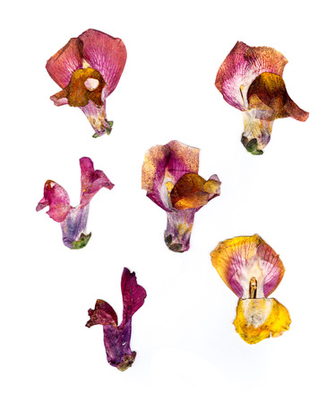 compress: bright colored, dry, compressed snapdragon petals spread out isolated on white