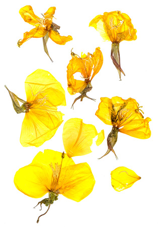 pressed: Transparent dried pressed flowers and petals of yellow eschscholzia Stock Photo