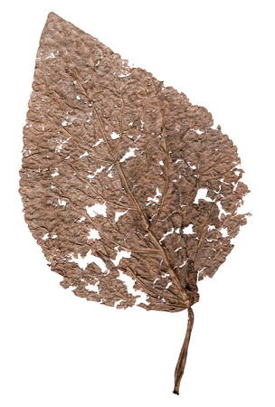 venation: Delicate dried brown leaf with lots of detailed venation, skeleton macro close up