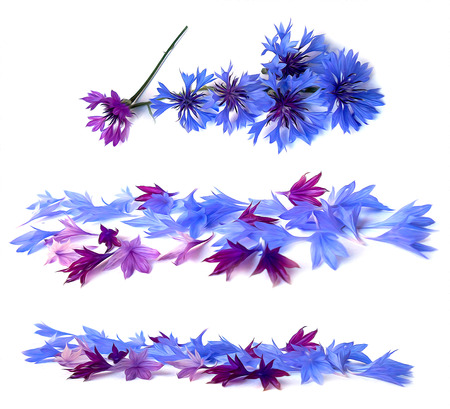 inflorescence: photo manipulation oil paint blue cornflower perspective, delicate flowers and petals isolated on white background Stock Photo
