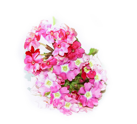 phlox fresh delicate pink flower on white background, photo manipulation