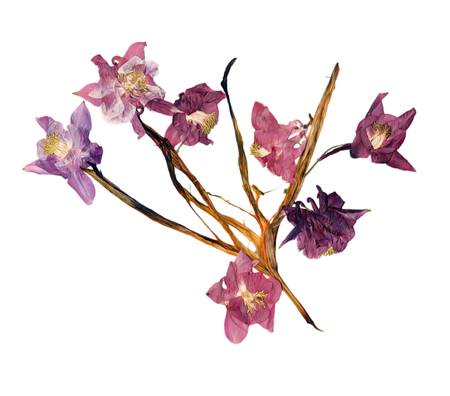 pink columbine: pressed multicolor Aquilegia with bizarre curved extruded dried lily petals,  photo manipulation