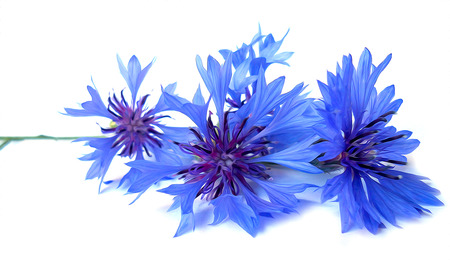 cornflower: photo manipulation oil paint blue cornflower perspective, delicate flowers and petals isolated on white background Stock Photo