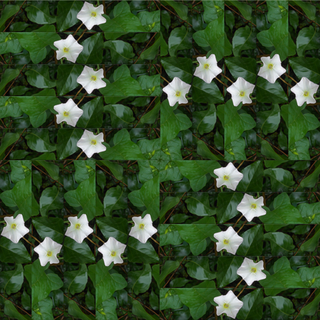 bindweed: seamless patchwork background pattern texture of fresh green leaves and white flower bindweed, photo manipulation