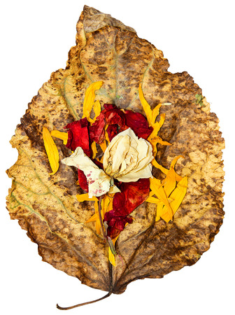 veined: dried up a huge crumpled brown with golden and green-veined leaves of poplar filled with rose flowers