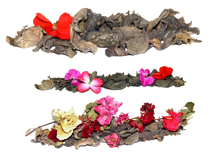 dried crumpled leaves money tree (Crassula) and withered flowers geraniums Stock Photo