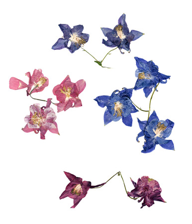 pressed multicolor Aquilegia with bizarre curved extruded dried lily petals