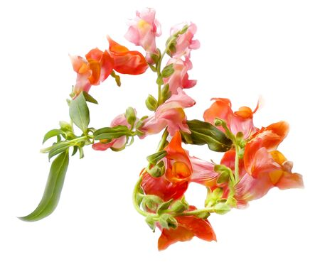 laid: Oil draw illustration of small bouquet of multi-colored snapdragons laid out in the form of numbers 8. Photo manipulation