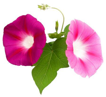 Oil draw illustration of morning glory, pink large flower bindweed, photo manipulation Stock Photo
