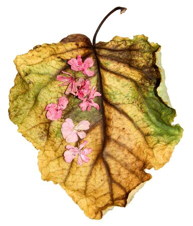 veined: dried up a huge crumpled brown with golden and green-veined leaves of poplar filled with  pink geranium