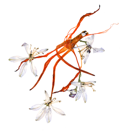 pink columbine: pressed multicolor Aquilegia with bizarre curved extruded dried lily petals