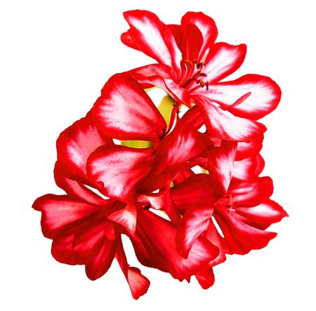 fresh flowers: Oil draw illustration of red striped geranium flowers fresh, photo manipulation