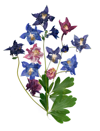 pressed multicolor Aquilegia with bizarre curved extruded dried lily petals,  photo manipulation