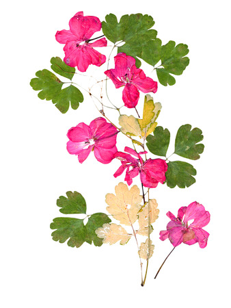 Isolated pink geranium, collection of elements application of dried pressing bright flowers and leaves Stock Photo
