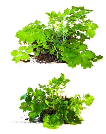young bush celandine, with a piece of land and roots fresh leaf close up early spring Stock Photo
