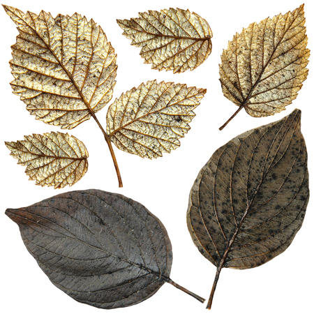 silvery: wet silvery raspberry and black hawthorn leaves, wintered under snow