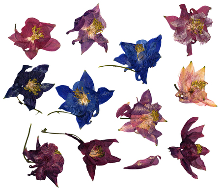 pink columbine: dry large multicolor perspective delicate royal Aquilegia  with pressed  petals Stock Photo