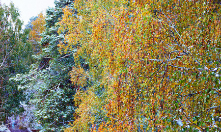late autumn: Winter landscape in gloomy day. birch branches blurred in the wind with last colorful leaves in the background of fir trees covered Leysin clutches of snow. Photo manipulation