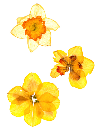 dry narcissus perspective flowers and petals of jonquil, isolated on white background Zdjęcie Seryjne