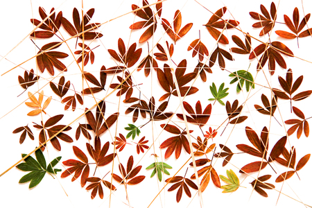 oil paint dry fall leaf of Kuril tea isolated leaves on white background for scrapbook, draw object, roughage autumn leaf