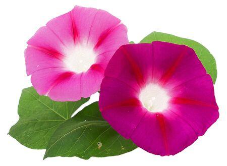 bindweed: Oil draw illustration of morning glory, pink large flower bindweed, photo manipulation Stock Photo