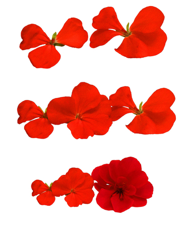 Oil draw illustration of red geranium flowers in the shape of roses fresh, photo manipulation