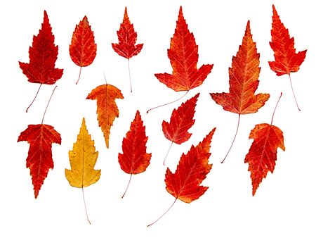 drawing of dried fall leaves of plants  isolated elements on white paper Stock Photo