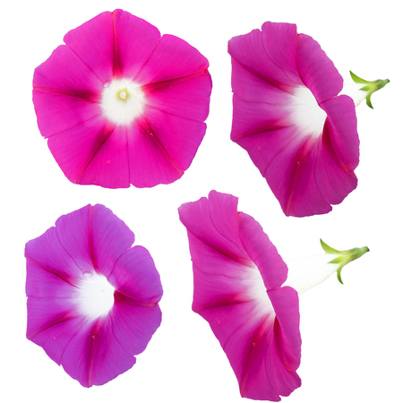 Oil draw illustration of morning glory, pink large flower bindweed, photo manipulation Stock Photo
