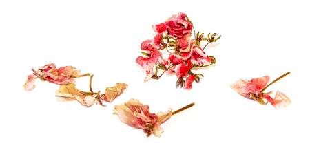 translucent red: dry pink geranium perspective delicate flowers and petals of pelargonium, isolated on scrapbook background Stock Photo