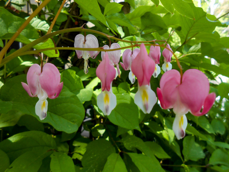 Beautiful pink Bleeding Heart flowers in garden with blue and red flowers in soft focus in background Stock Photo