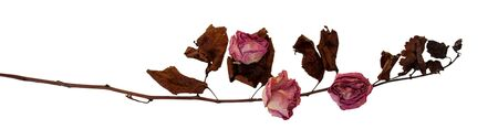 squabble: Multicolor dry delicate flowers, leaves and petals of pink rose on white background
