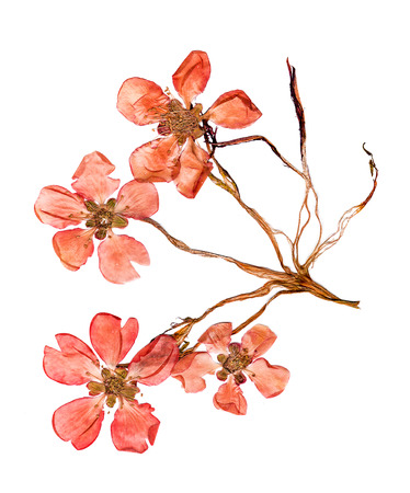 Pressed and dried petal of large red flowers quince blossom