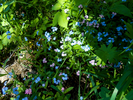 Spring Forget-me-nots Fresh garden  blue and pink flower Stock Photo